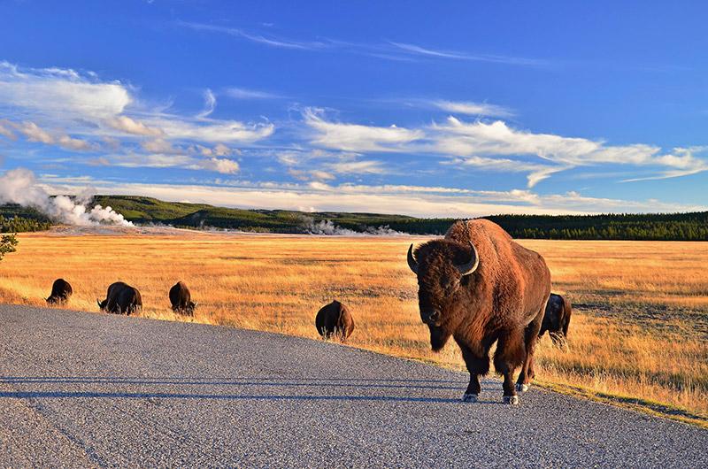 Bizoni v Yellowstone národním parku