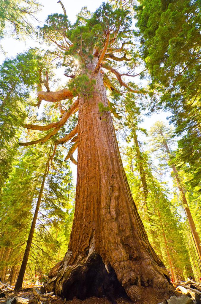 Sekvoja Stromy Yosemite 02