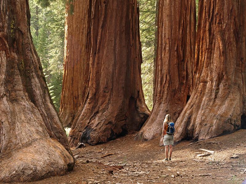 Sekvoja stromy v Yosemite