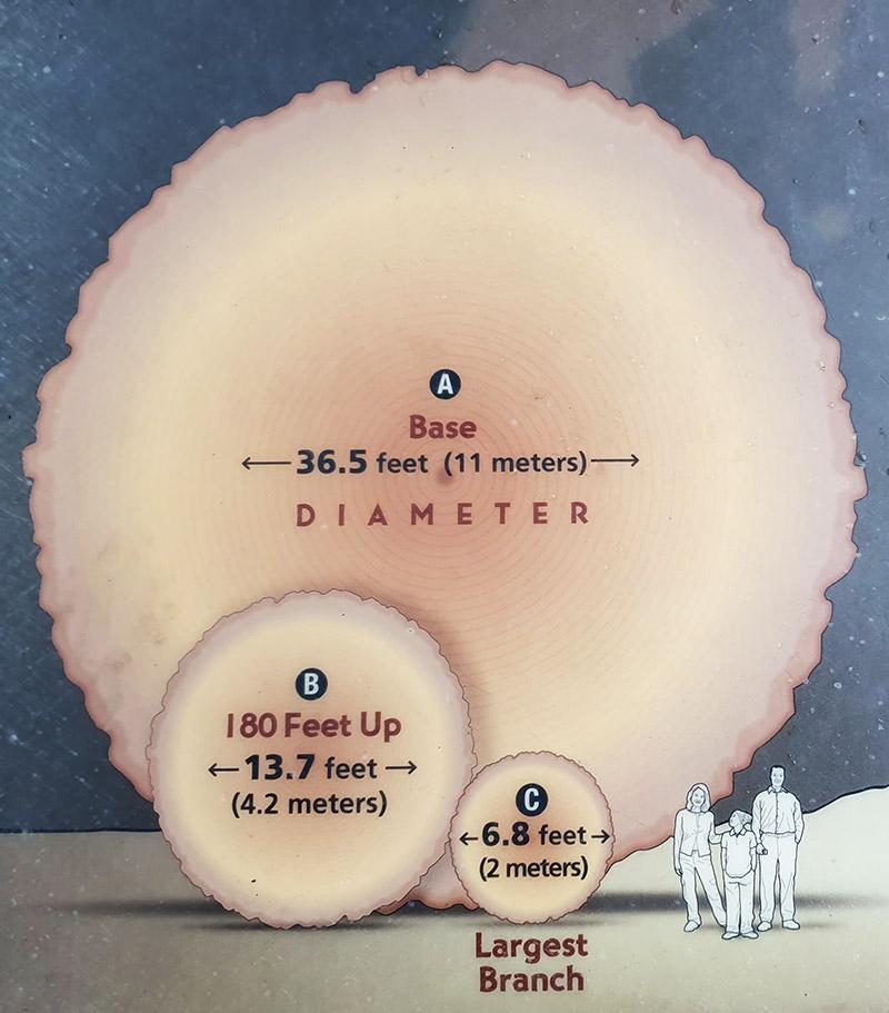 Rozměry stromů sekvoje
