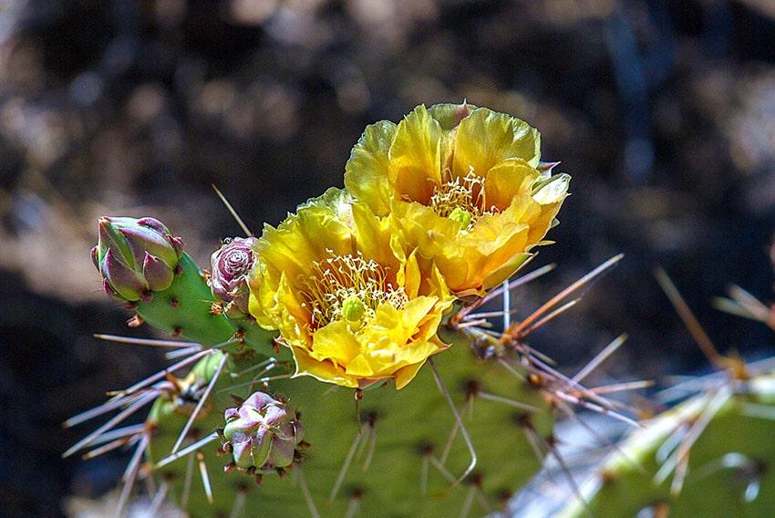 Kvetoucí kaktusy v Grand Canyonu