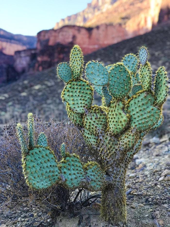 Kaktusy v Grand Canyonu