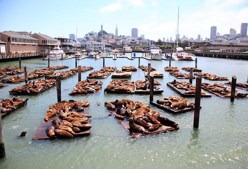 Lachtani na Pier 39