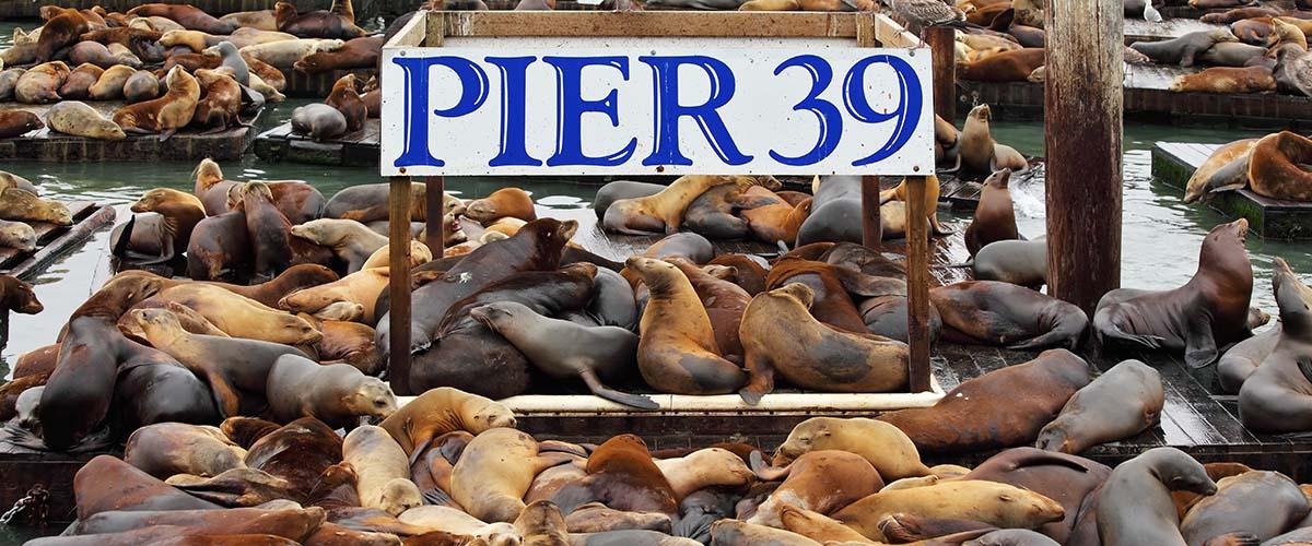 Lachtani na Pier 39 v San Franciscu